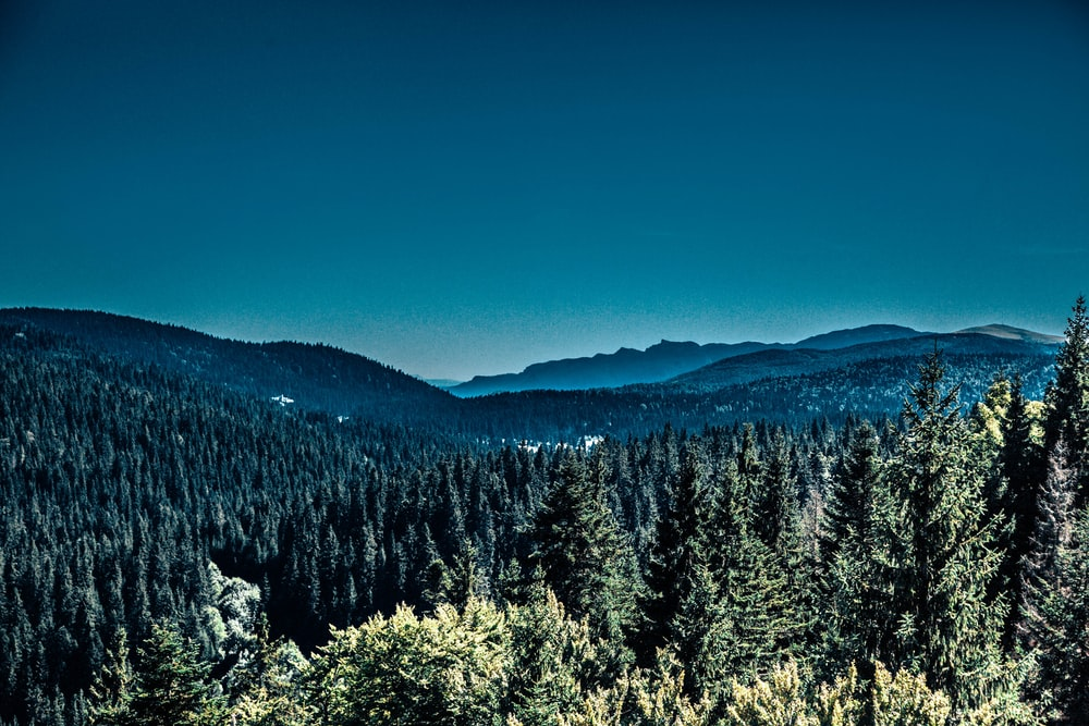 pine trees and mountain