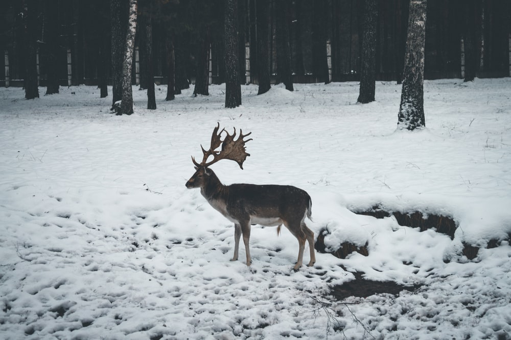 deer on snow covered ground