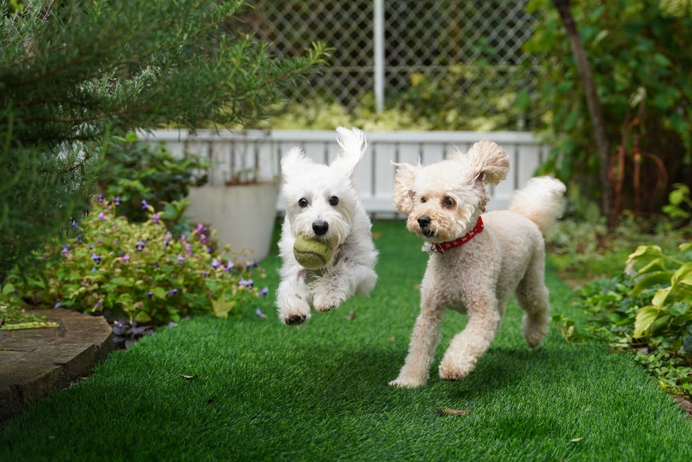 two dogs playing on grass