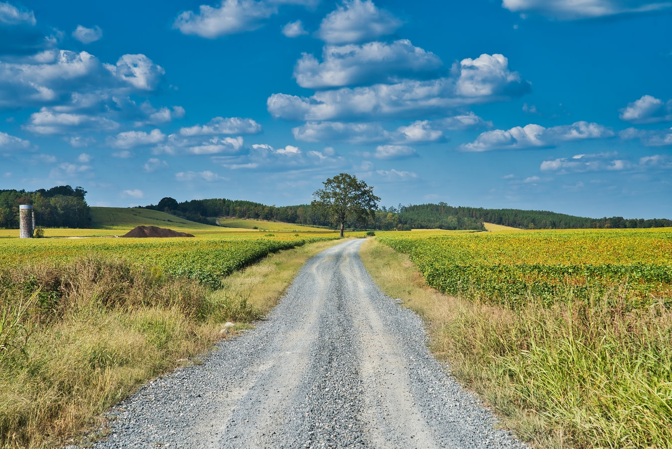 A country scene of a gravel road cutting through a soybean field with a lone oak tree just beside it on a sunny day.