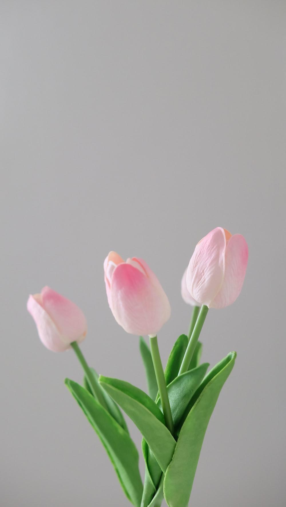 three pink tulip flowers