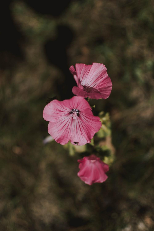 three pink-petaled flowers