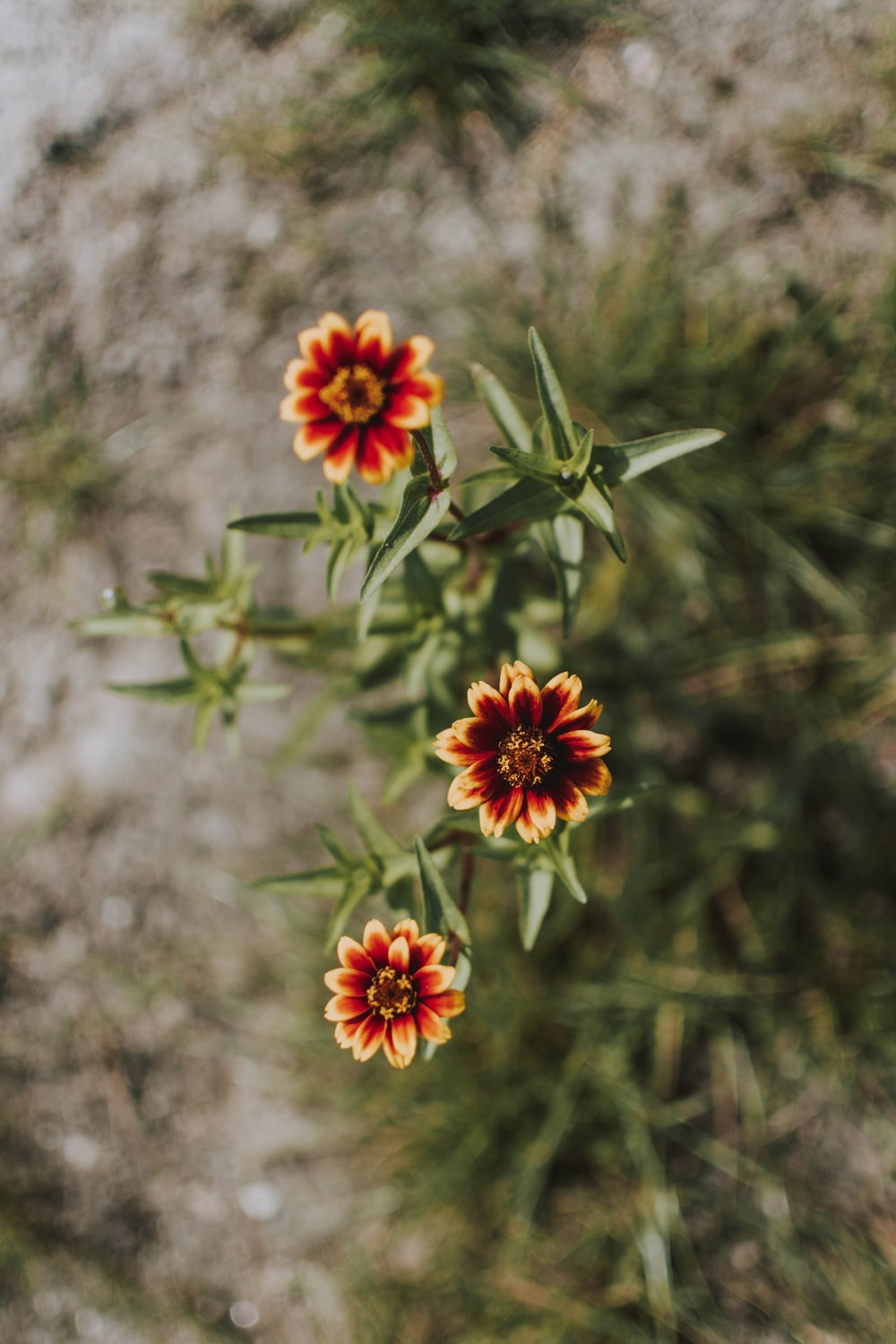 selective focus photography of a red and yellow-petaled flowers