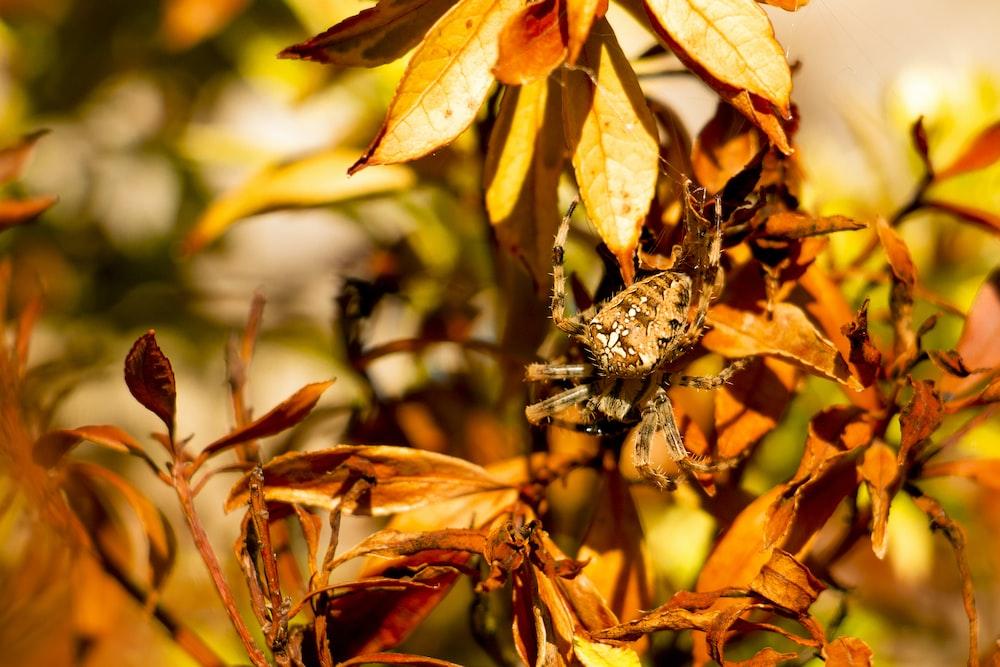brown and beige spider