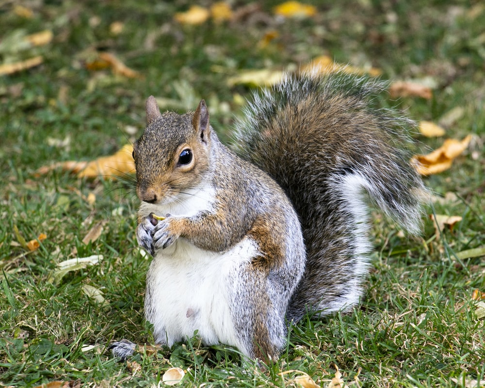 closeup photo of squirrel on grass