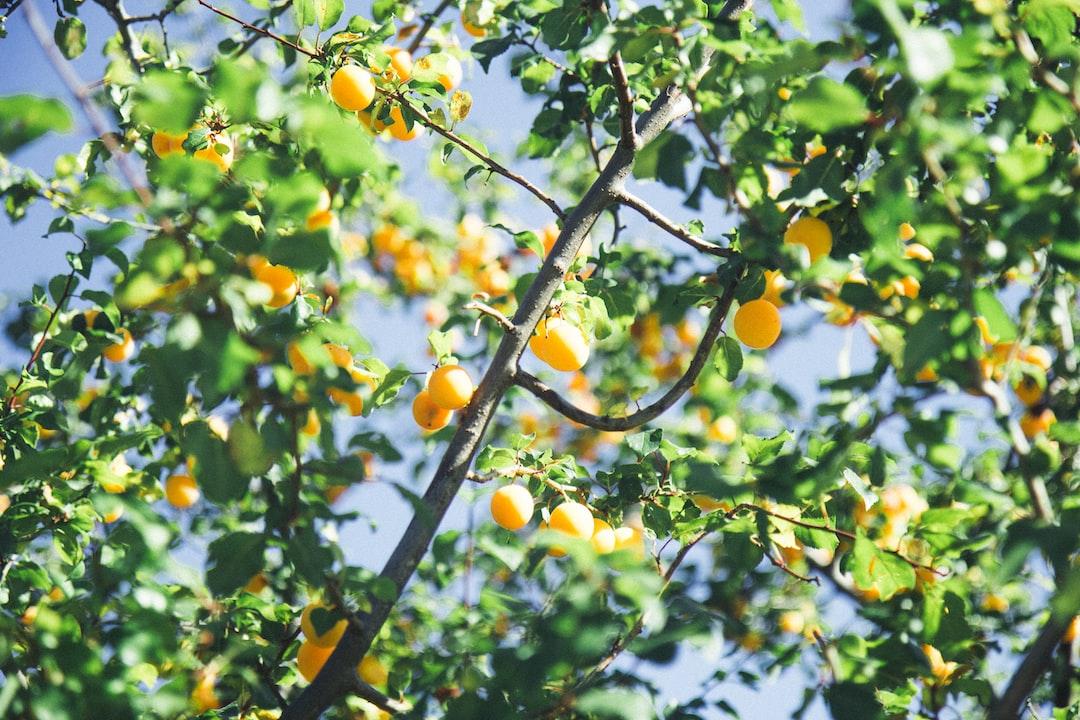 Ripe plum fruits in late autumn