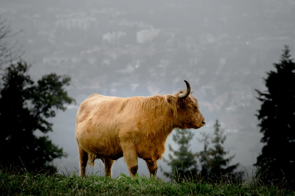 brown cattle standing on green grass field