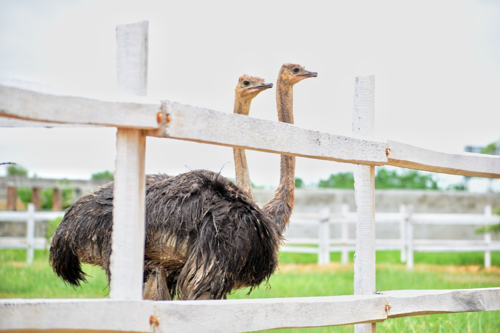 two black ostriches in fence