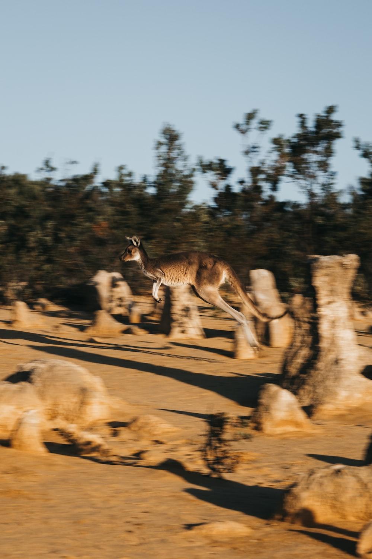 running kangaroo at daytime