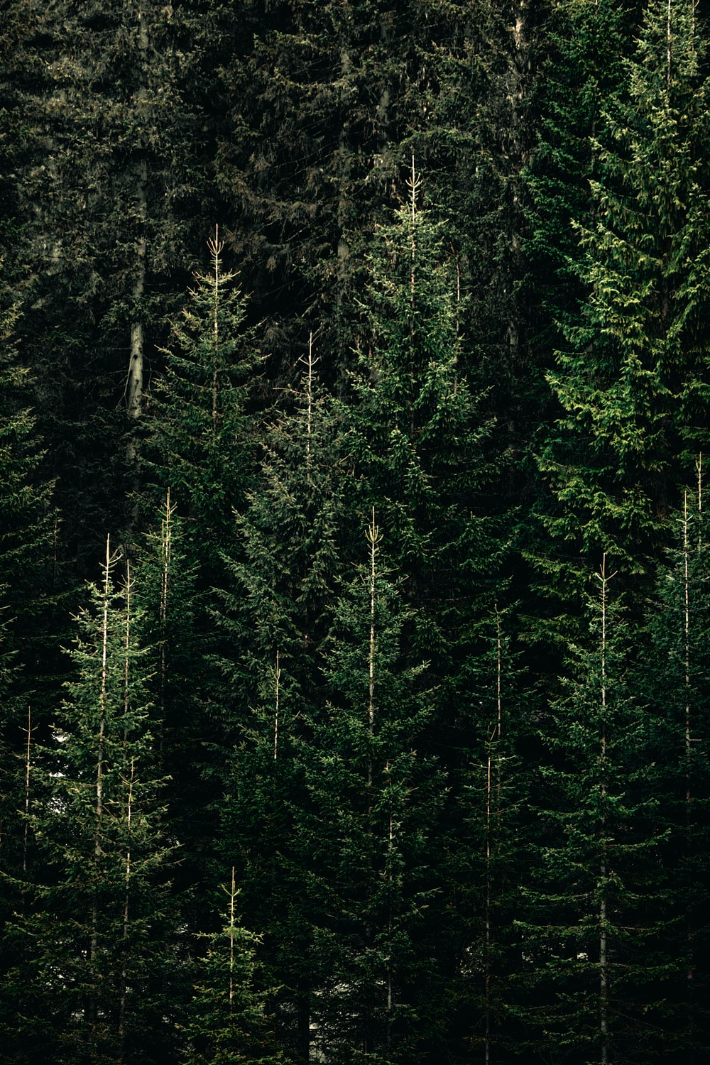green forest with pine trees