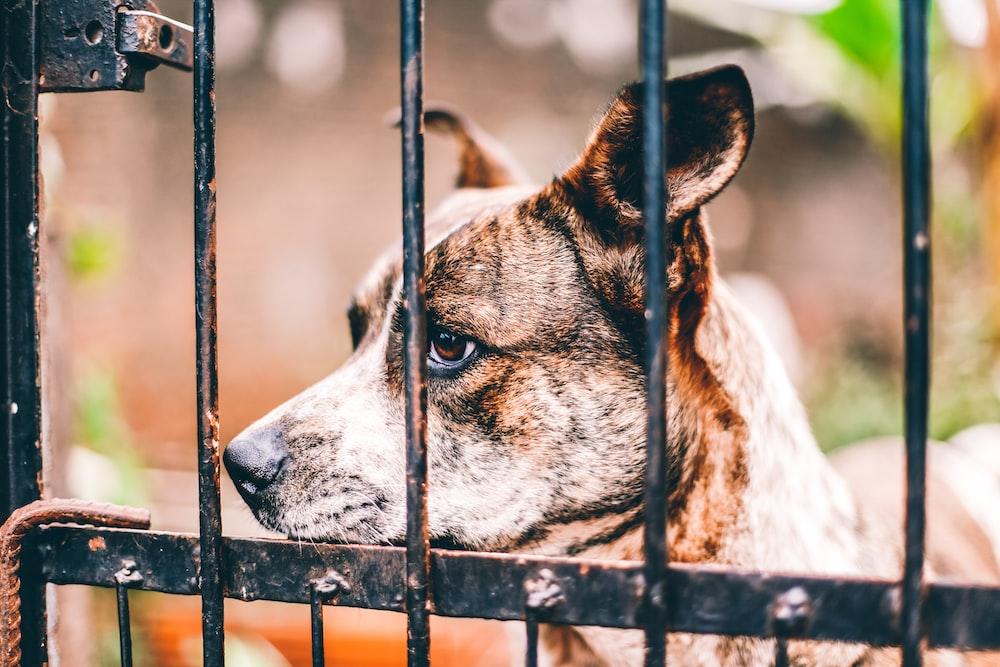 brindle dog in cage