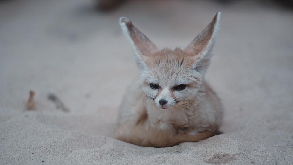 brown fox on sand