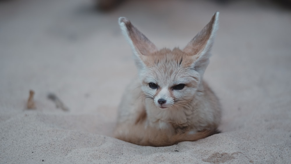 brown fox on sand