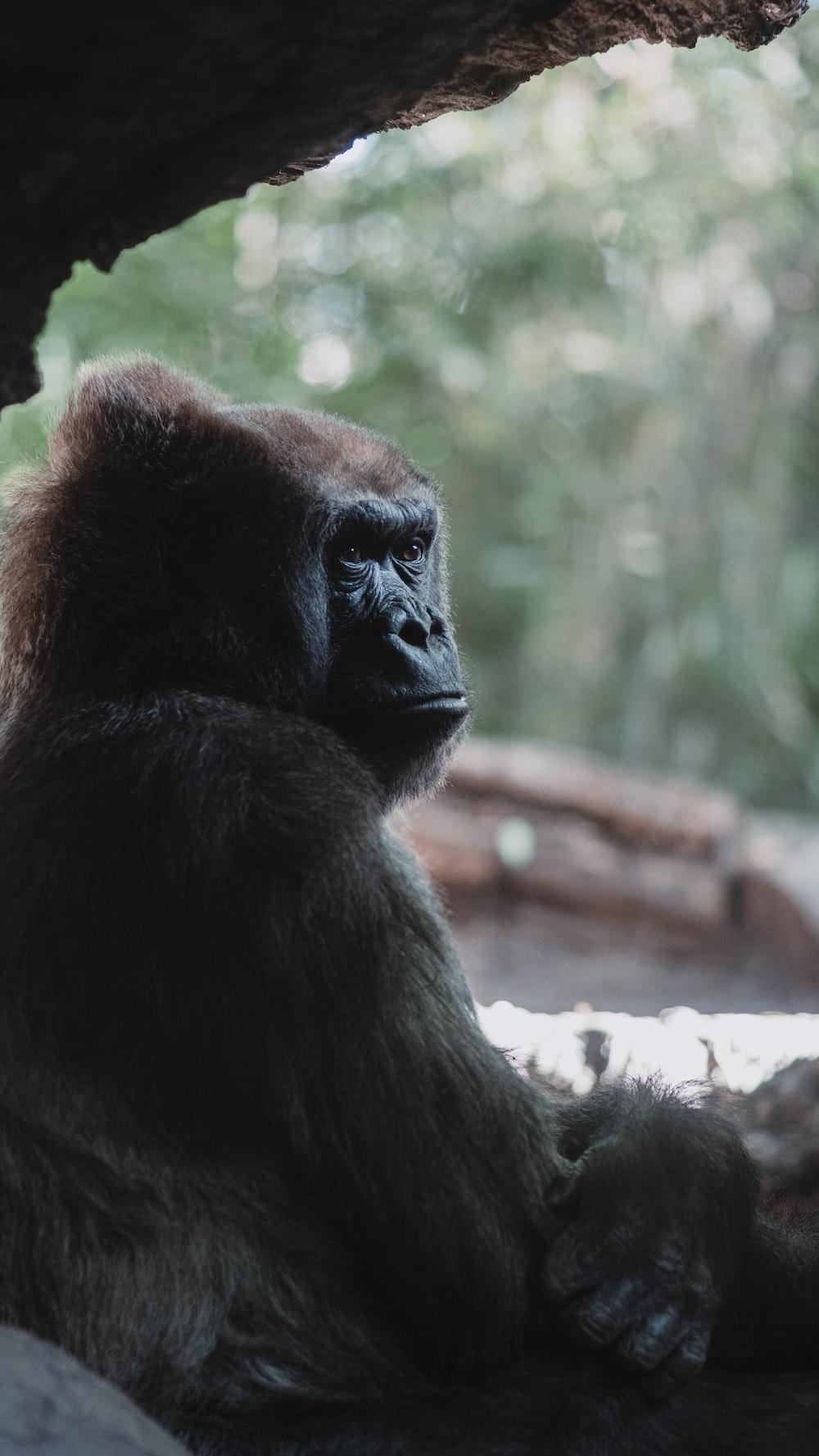 black and brown gorilla