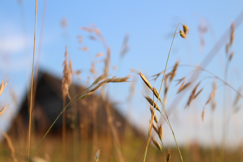 brown grass field