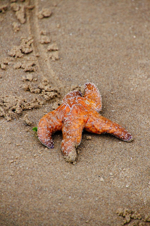 orange starfish on sand