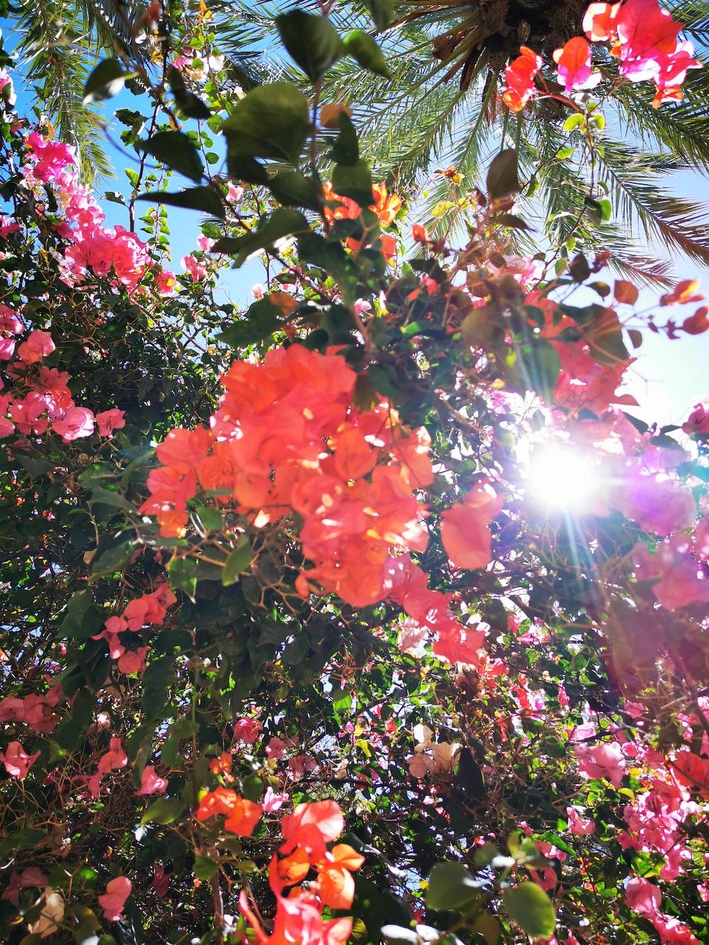 sun rays coming through orange bougainvillea flowers