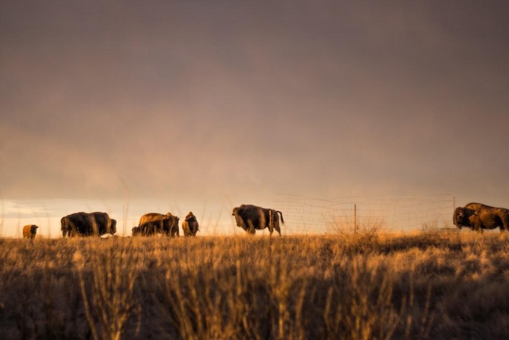 bison on grass field