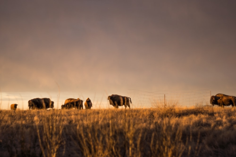 bison on grass field