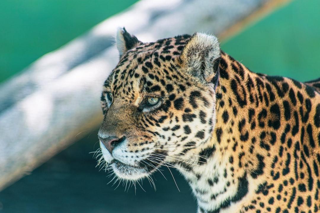 Jaguar in Pomerode Zoo
