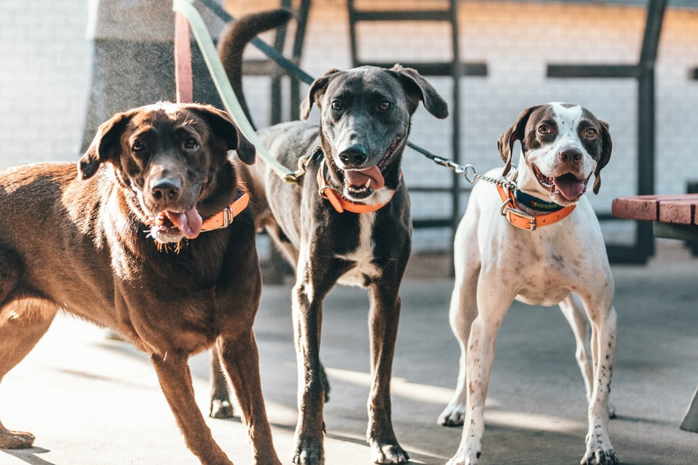 three short-coated brown and black dogs