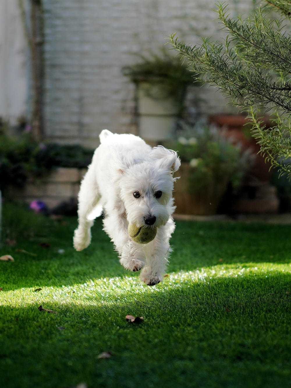 selective focus photography of running white dog biting green ball