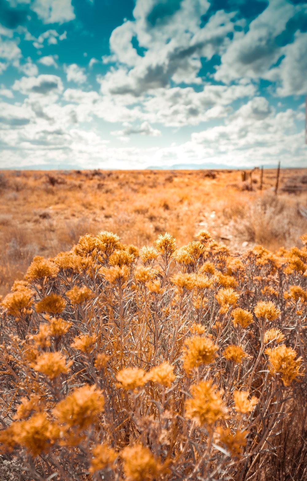 yellow cluster petaled flower field