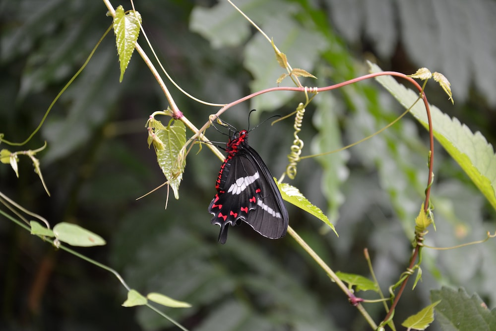 Papillio butterfly perching on vine plant