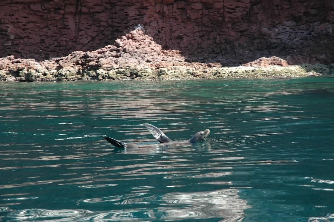 Young gray sealion playing in the green waters of Mar de Cortés, Gulf of California, Baja California Sur, Mexico