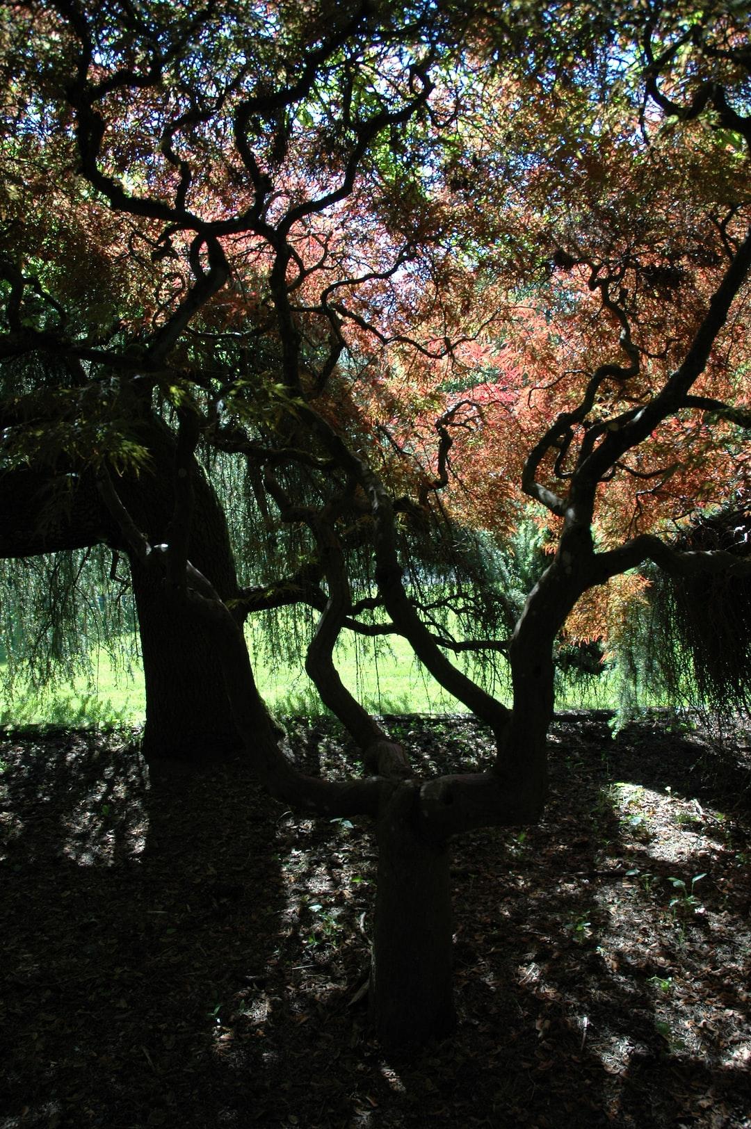 Japanese maple forest, whispering a story, Kubota American Japanese garden, Tukwila, Washington, USA
