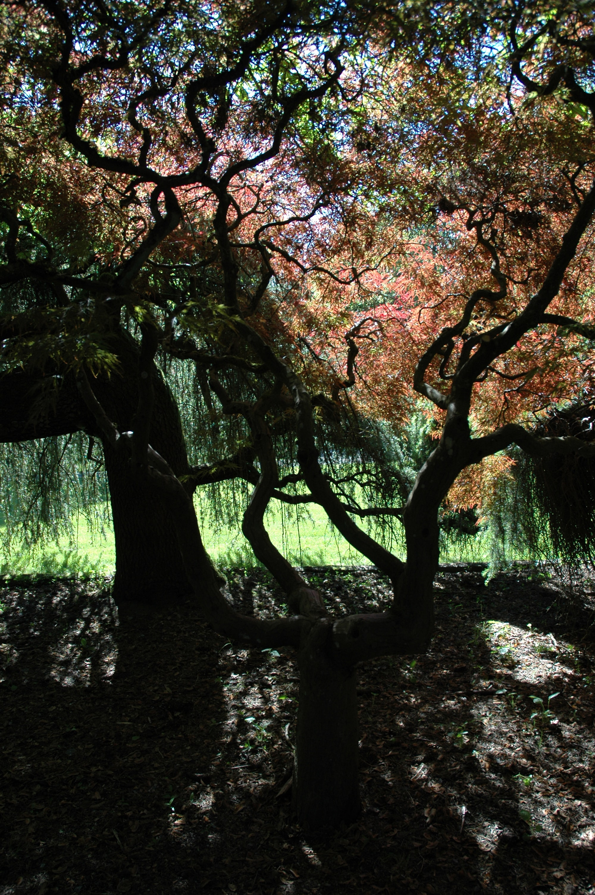 Japanese maple forest, whispering a story, Kubota American Japanese garden, Tukwila, Washington, USA