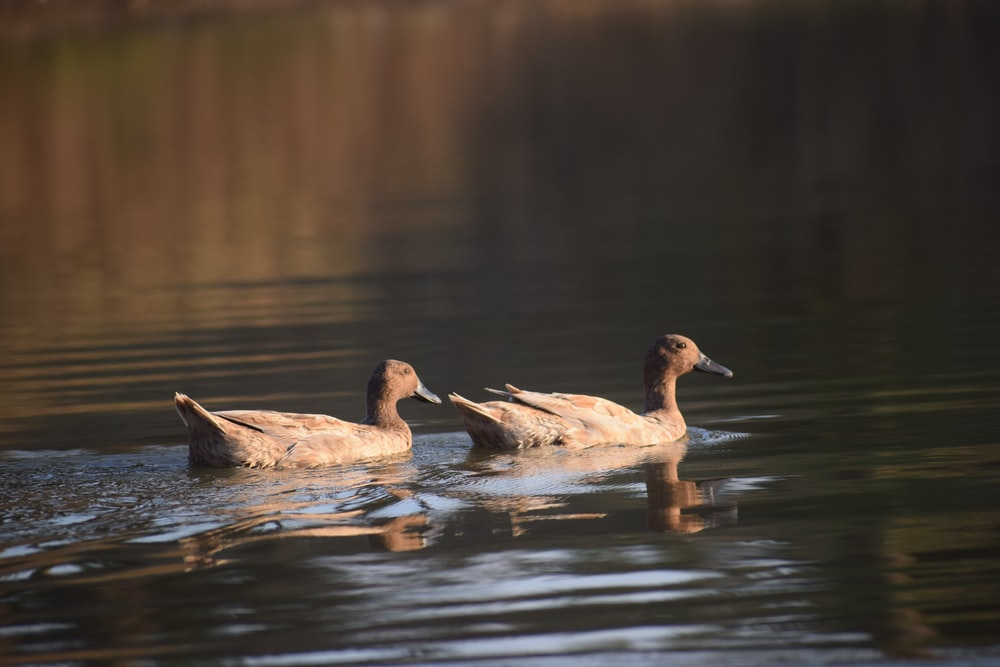 two brown ducks on water