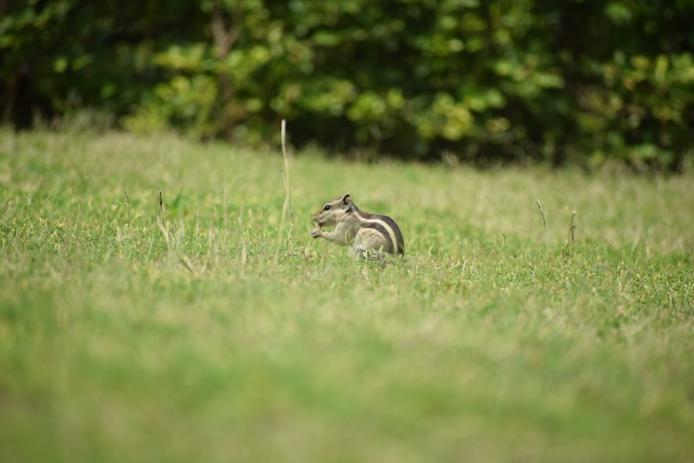gray squirrel on grass field