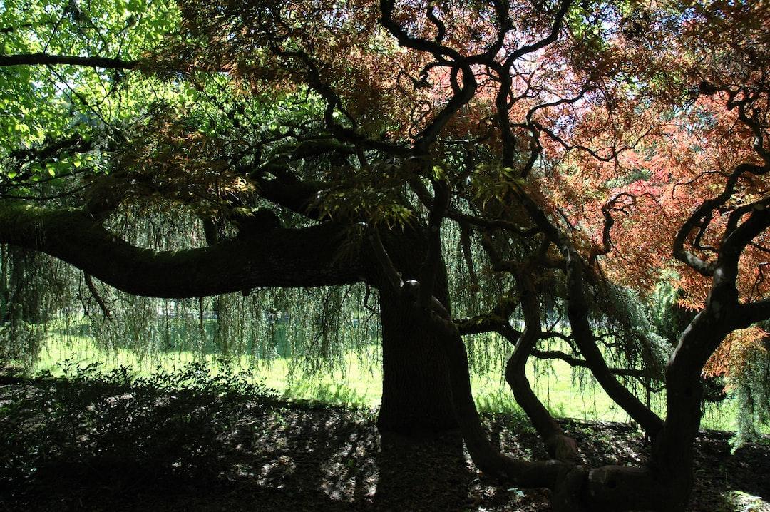 Rain of trees, summer sun, Kabota American Japanese garden, Tukwila, Washington, USA