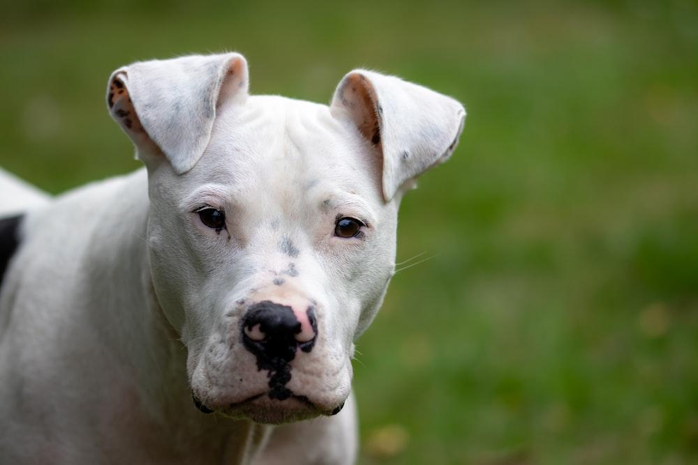 adult white pit bull