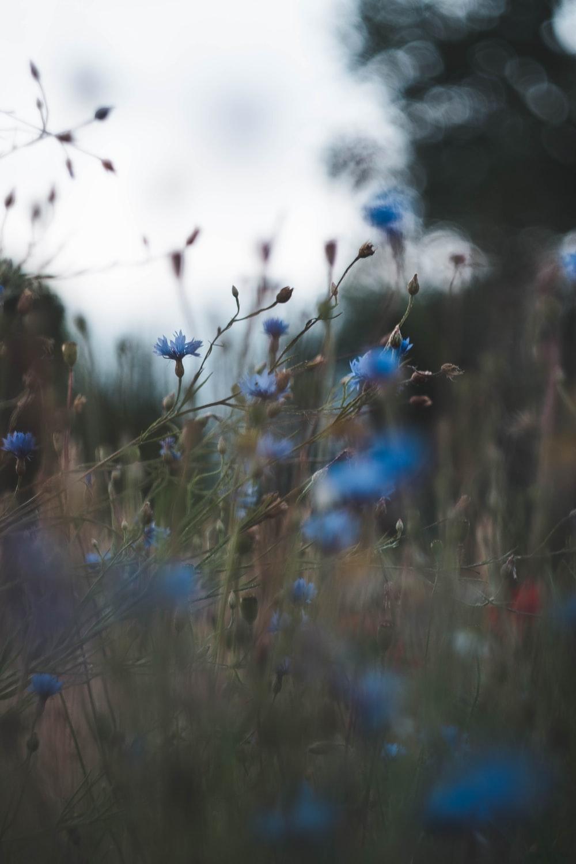 blue flower blooming