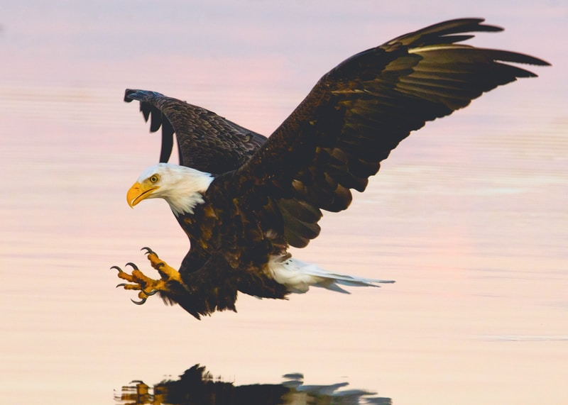 soaring eagle over water