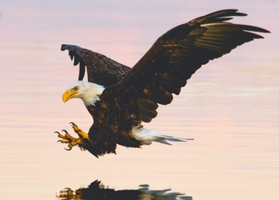 Bald Eagle with its talons exposed as it prepares to grab  something out of the water.