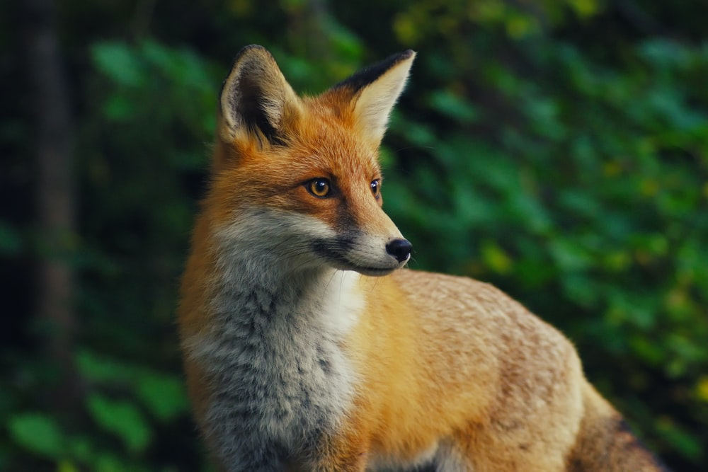 selective focus photography of orange fox during daytime