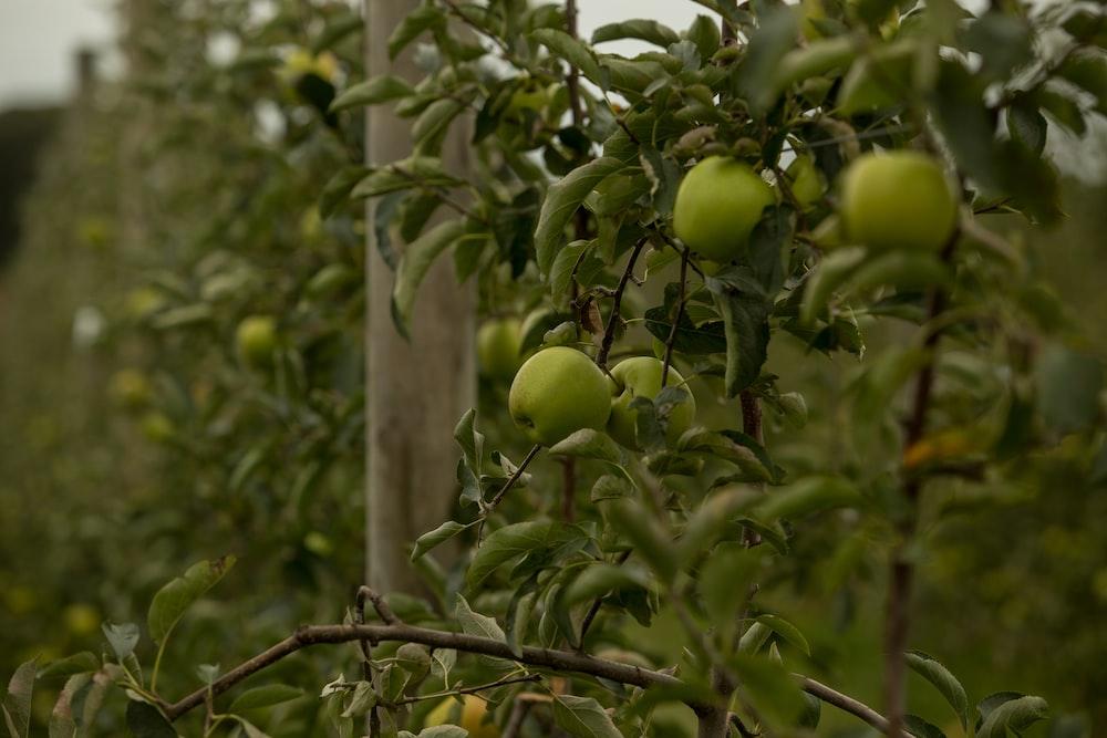 green apple fruit lot