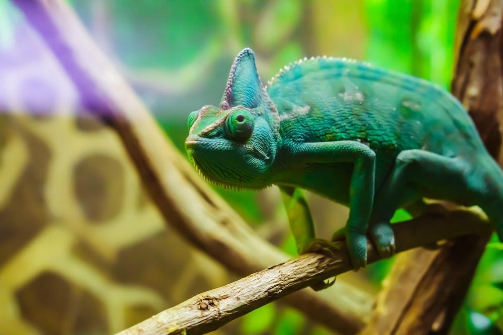 green chameleon crawling on branch
