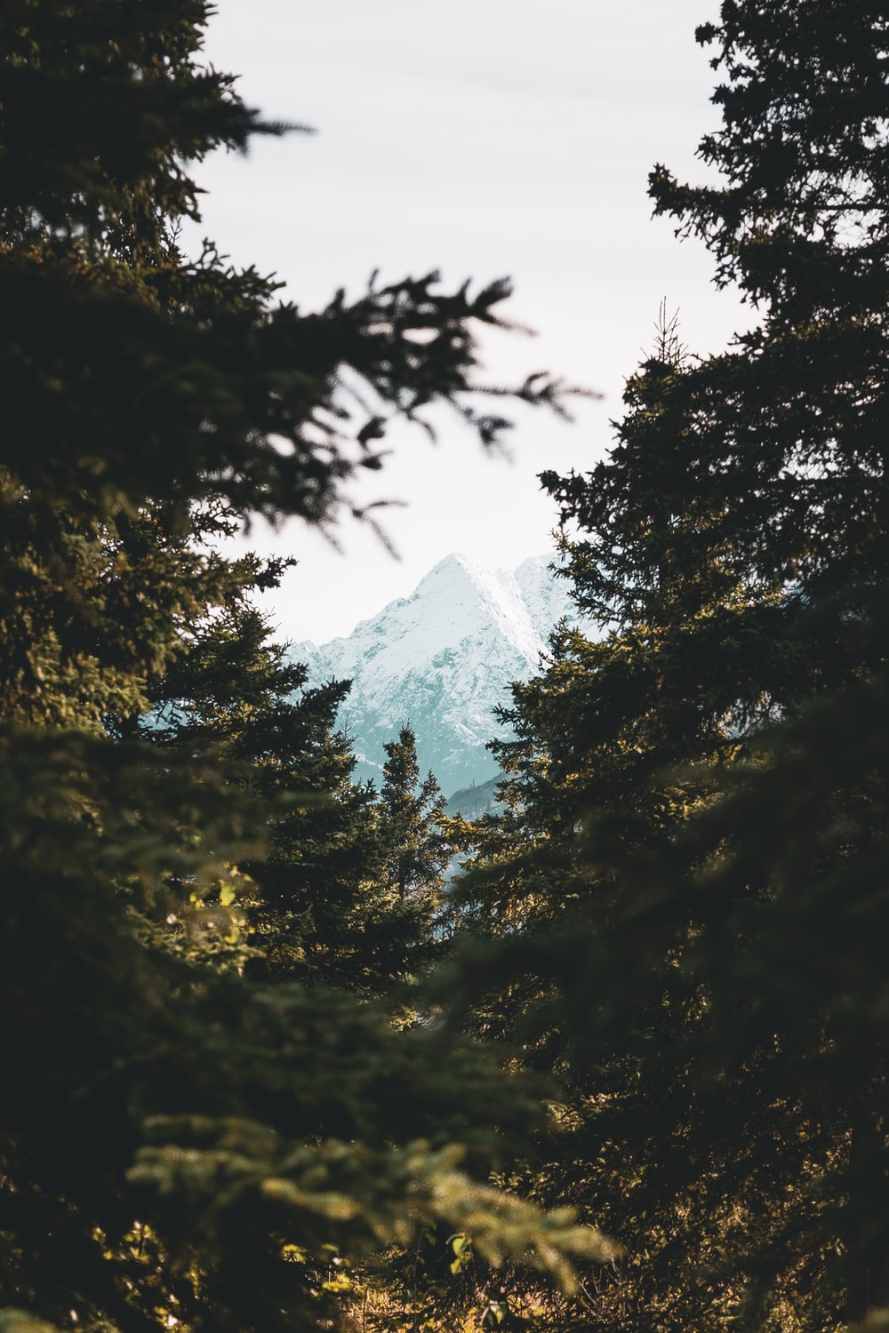 view of mountain alps from green trees from a far