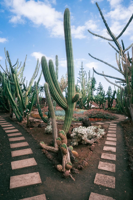 green cactus plants in garden