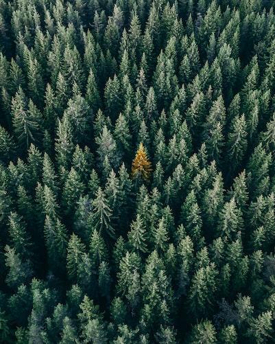 Aufnahme von oben - Grüner Nadelwald mit einer gelben Tanne in der Mitte