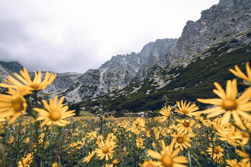 yellow petaled flower field