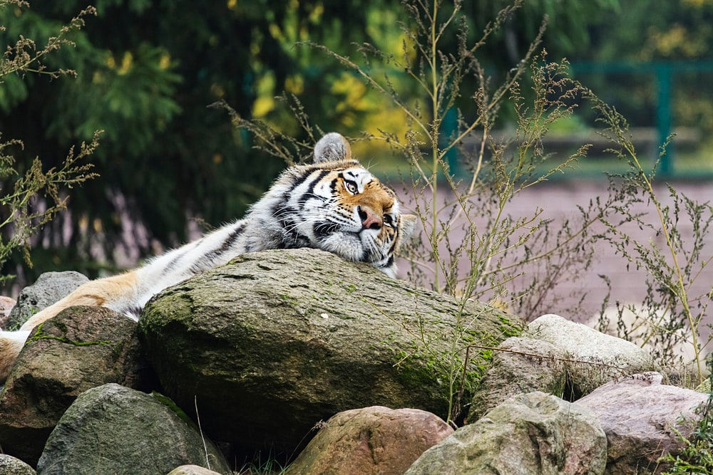 Bengal tiger on rock