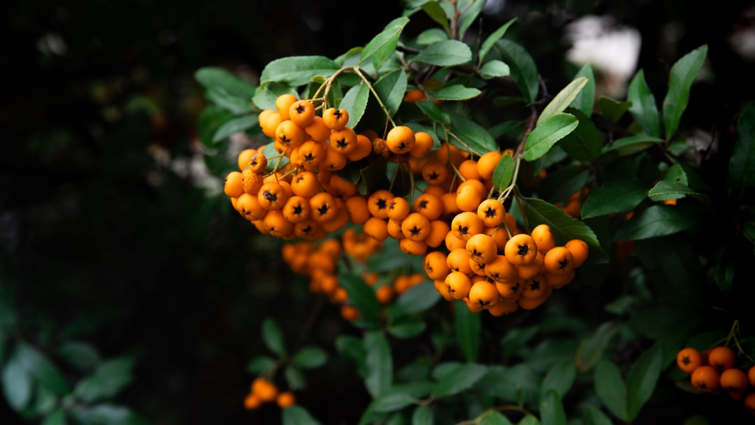 Berries from an pyracantha bush, also known as the firethorn bush. Orange glow berries.
