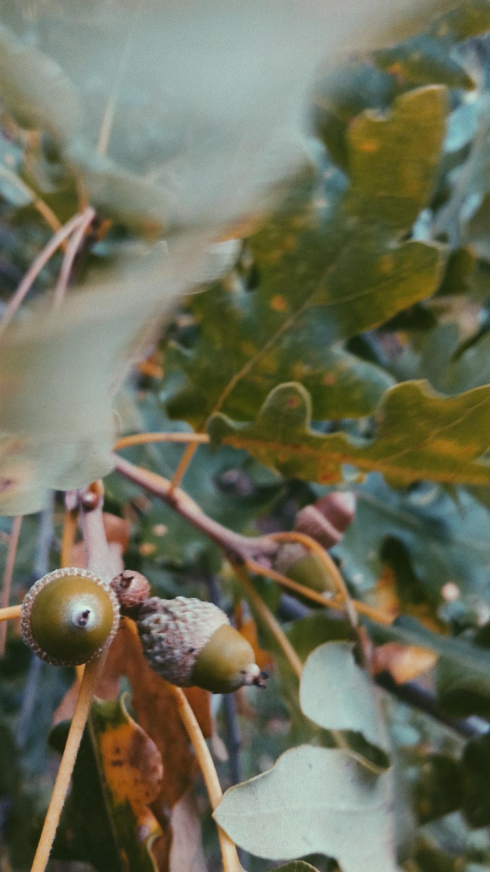 round green fruits