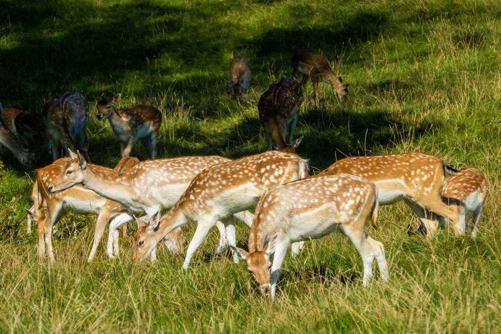 brown and white spotted deer eating grasses