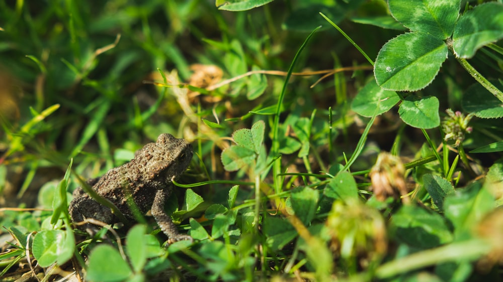 brown toad on grass